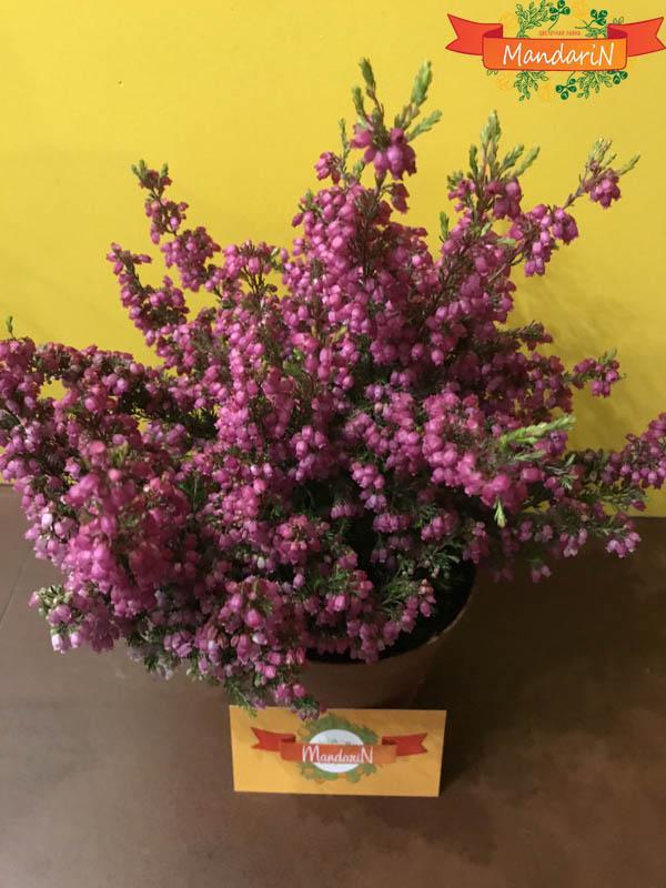 Эрика растение купить в новосибирске, абакане