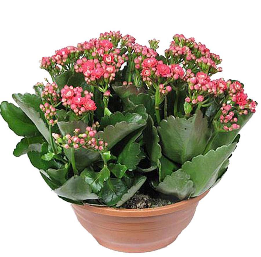 Картинки с цветами каланхоэ, стих марта поздравление