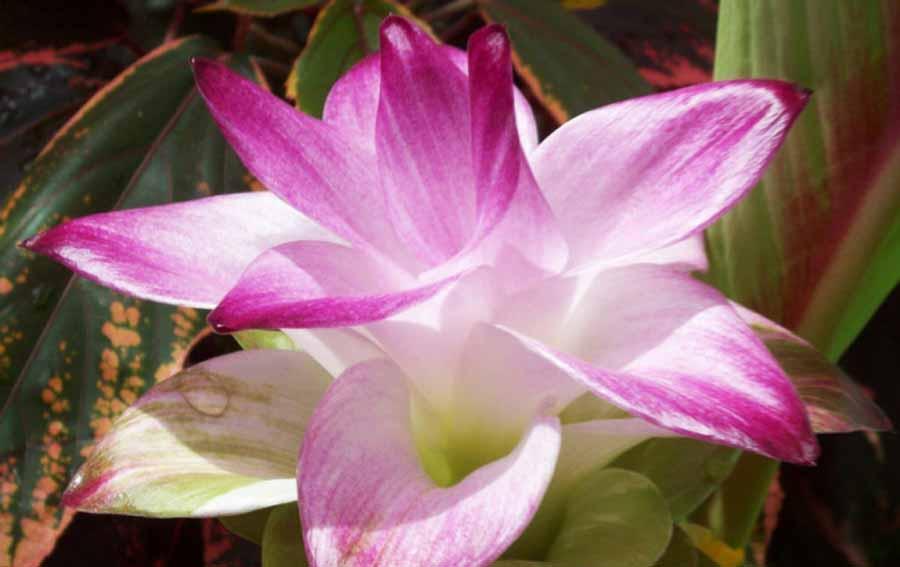 лучшие обои цветы куркума фото внешность обеспечила мустафе