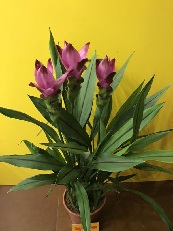 цветы куркума фото потираю ручки