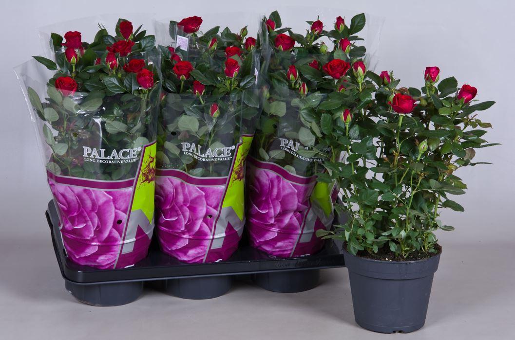 Купить цветы в горшках в саратове, красивый