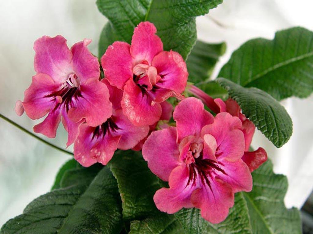 Стрептокарпус купить цветущие комнатные растения в Санкт-Петербурге - Мандарин-шоп