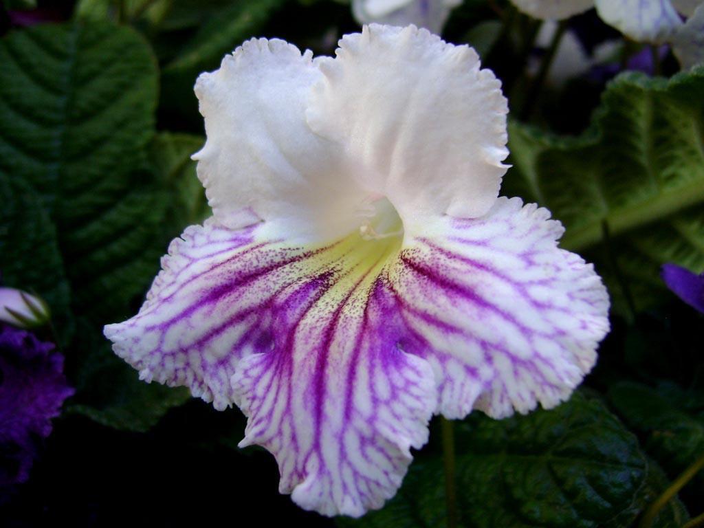 Фото цветов стрептокарпус