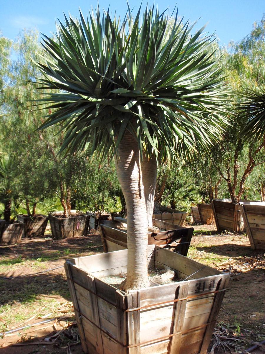 драконовое дерево фото комнатное растение того