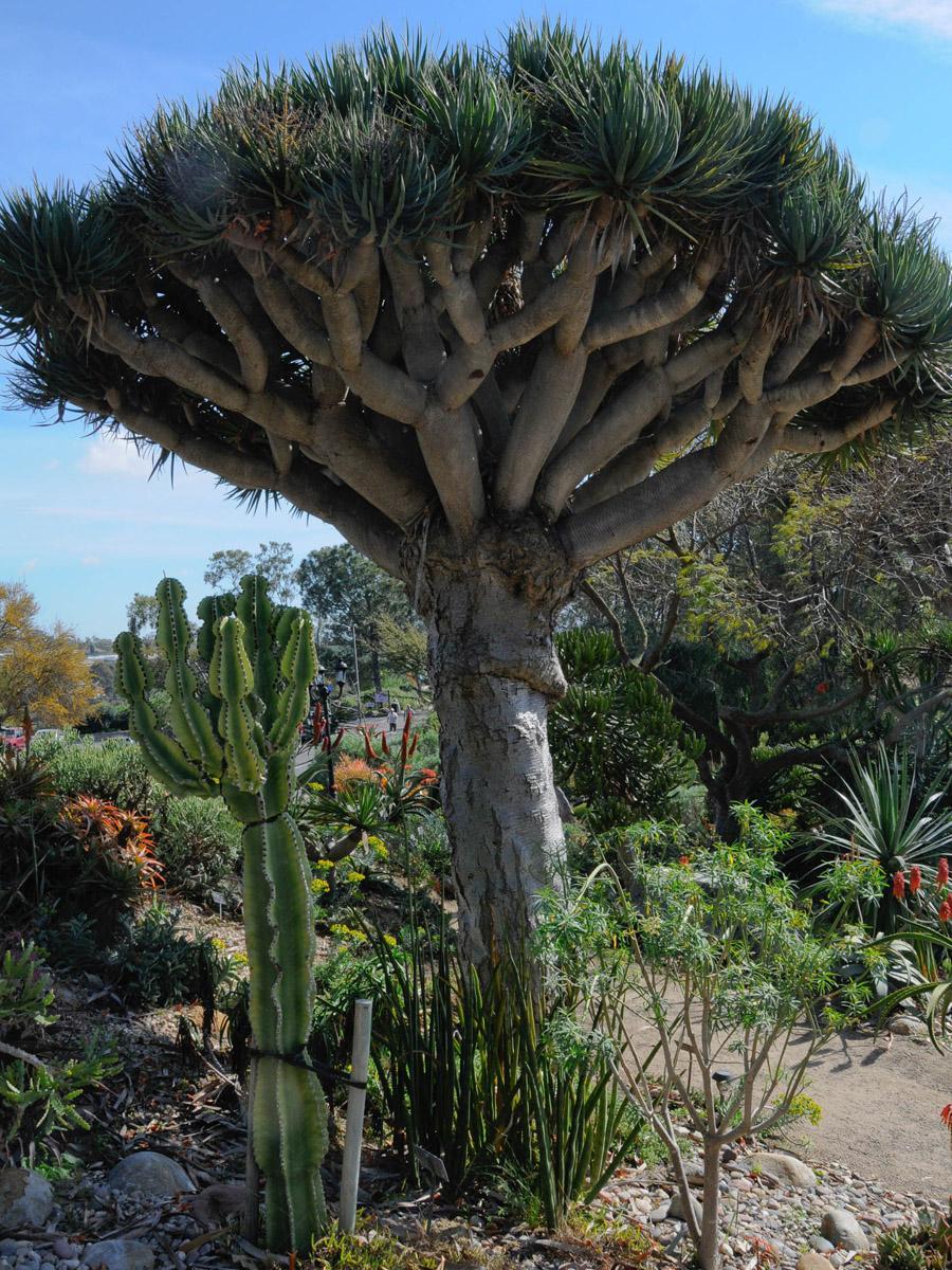 драконовое дерево фото комнатное растение прозвали детей