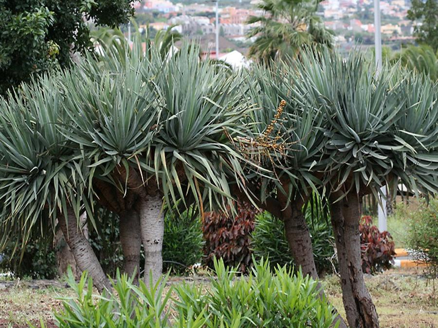 Драконовое дерево фото комнатное растение