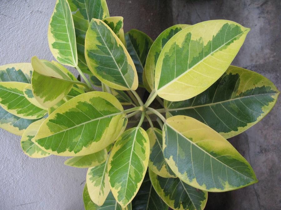 Фикус Бенгальский Андрей листва