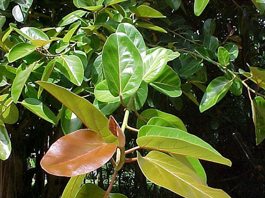 Фикус Бенгальский Андрей окрас листвы