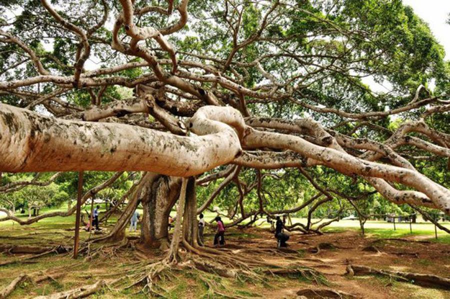 Фикус Бенгальский Андрей ветка дерева