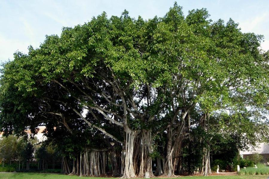 Фикус Бенгальский Андрей дереву 80 лет