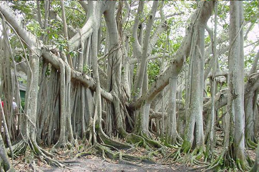 Фикус Бенгальский Андрей ниспадающие корни