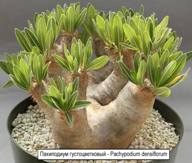 Пахиподиум густоцветковый - Pachypodium densiflorum