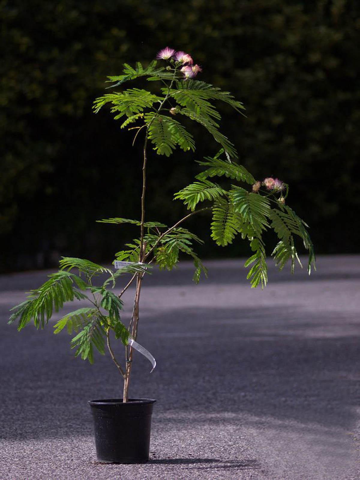 Альбиция (ленкоранская акация): фото и выращивание в домашних условиях