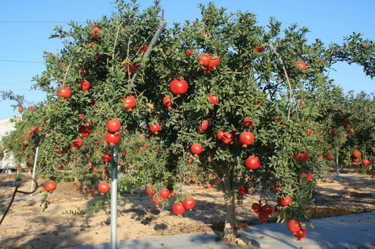 Картинки гранатовое дерево с плодами