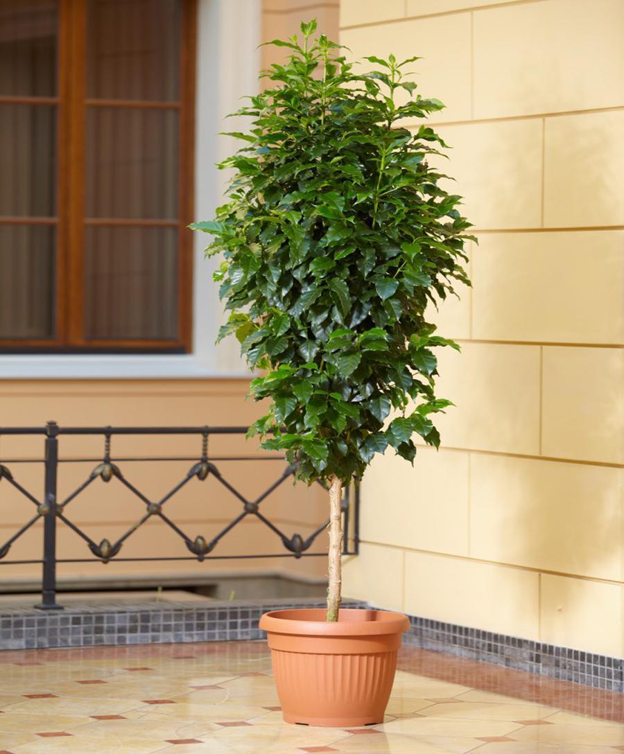 Кофе дерево фото в домашних