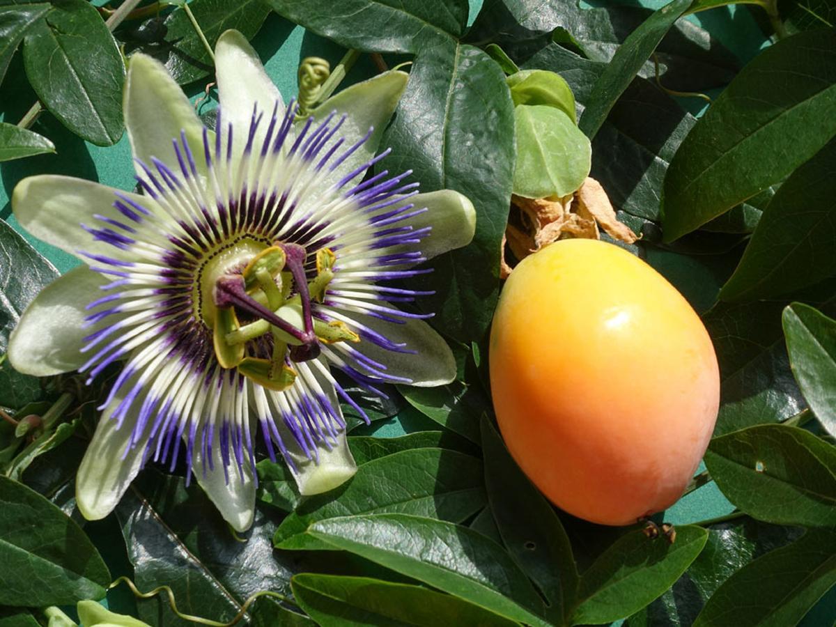 Маракуйя или пассифлора съедобная, или гранадилла, или страстоцвет съедобный купить в магазине Мандарин