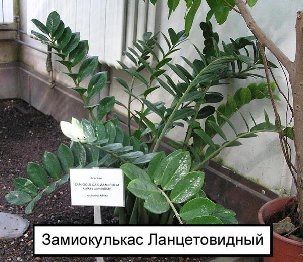 Замиокулькас Ланцетовидный