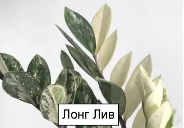 Замиокулькас Лонг Лив