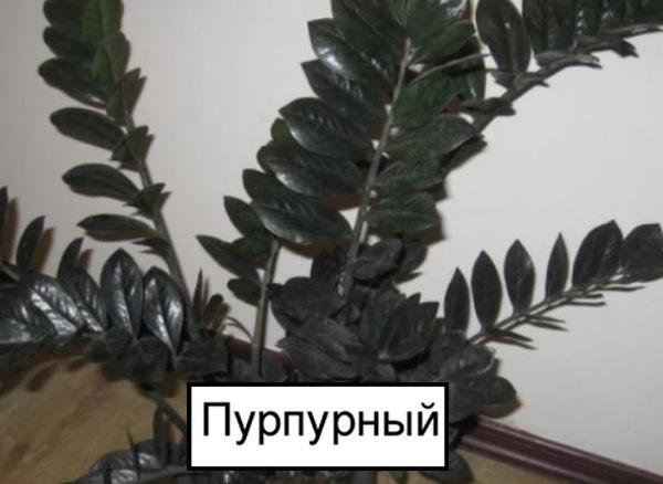Замиокулькас пурпурный