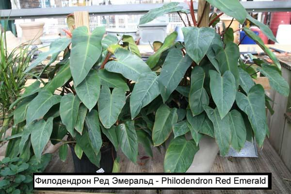 Филодендрон Ред Эмеральд - Philodendron Red Emerald