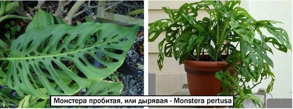 Mонстера пробитая, или дырявая - Monstera pertusa