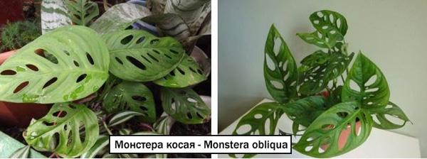 Монстера косая - Monstera obliqua