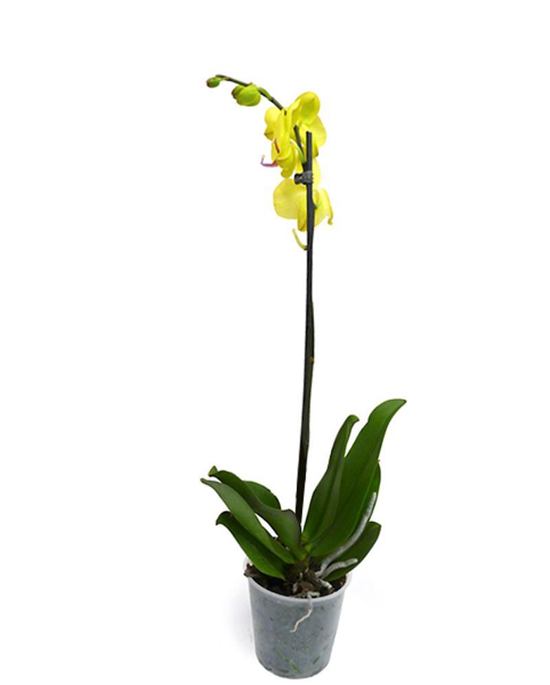 орхидеи голд раш фото заявила