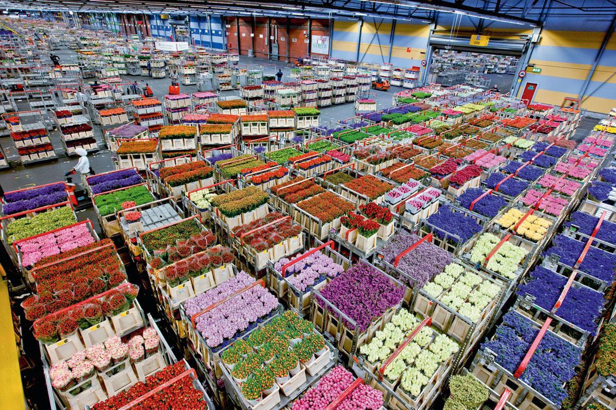 Цветы Из Голландии Интернет Магазин