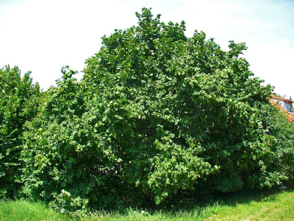 легендами фото дерева ореха фундук особенность топоплана