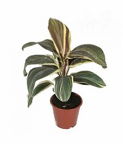 Кордилина Шоколейт Квин - Cordyline Fruticosa Chocolate Gueen D9 H20