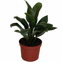 Кордилина Пурпл Компакта - Cordyline fruticosa Purple Compacta D9 H25