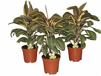 Кордилина Шоколейт Квин - Cordyline Fruticosa Chocolate Gueen D18 H50