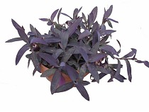 Традесканция - Tradescantia Purple Swifttale D12 H20