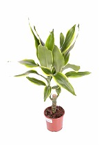 Драцена Фрагранс Голден Кост - Dracaena Fragrans Golden Coast D12 H40