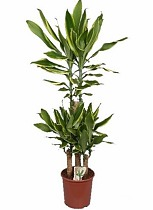 Драцена Фрагранс Голден Кост - Dracaena Fragrans Golden Coast D25 H130