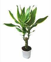 Драцена Фрагранс Голден Кост - Dracaena Fragrans Golden Coast D20 H80