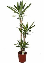 Драцена Фрагранс Голден Кост - Dracaena Fragrans Golden Coast D30 H150