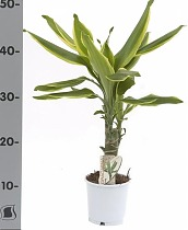 Драцена Фрагранс Голден Кост - Dracaena Fragrans Golden Coast D14 H60