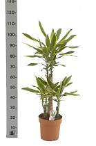 Драцена Фрагранс Голден Кост - Dracaena Fragrans Golden Coast D25 H100