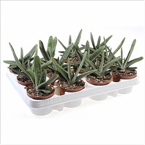 Гастерия Литл варти - Gasteria Little Warty D5 H15