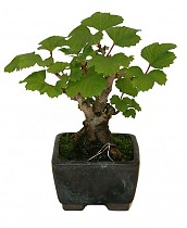Бонсай Девичий Виноград - Bonsai Parthenocissus D10 H18