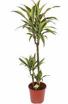 Драцена деремская (душистая) Сюрприз - Dracaena fragrans surprise  D21 H110