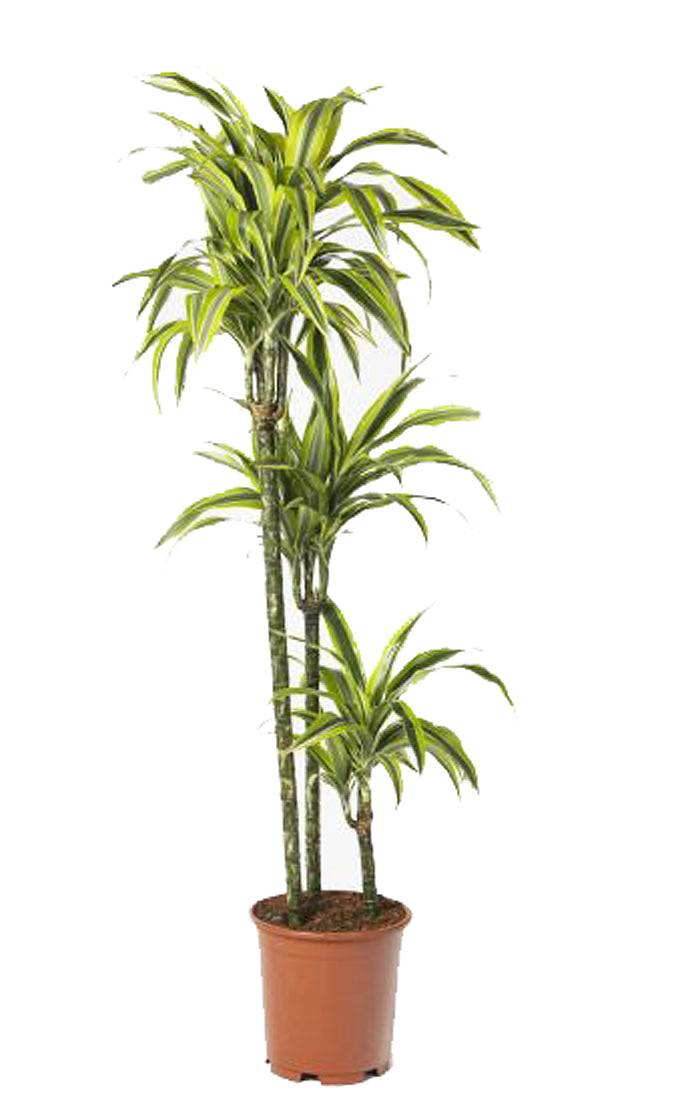 Драцена деремская (душистая) Сюрприз - Dracaena fragrans surpriseD30 H140