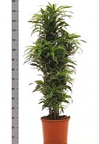 Драцена деремская (душистая) Сюрприз - Dracaena fragrans surprise куст D38 H150