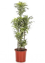 Драцена деремская (душистая) Сюрприз - Dracaena fragrans surprise D35 H160