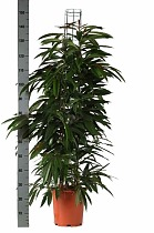 Биннедика Амстел Кинг - Ficus Amstel King D27 H160