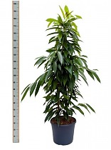 Биннедика Амстел Кинг - Ficus Amstel King D30 H180