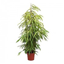 Биннедика Амстел Кинг - Ficus Amstel King D35 H200
