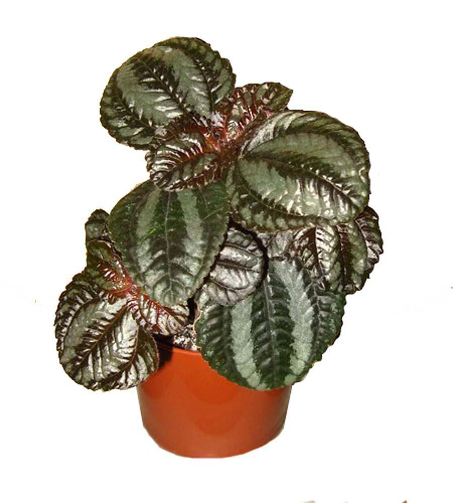 Пилея Норфолк - Pilea Norfolk D5 H10