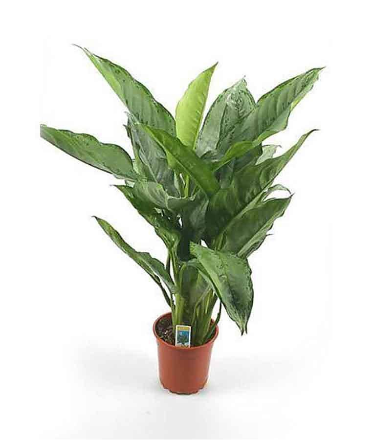 Аглаонема Фридман - Aglaonema pictum 'Freedman'. D15 H50
